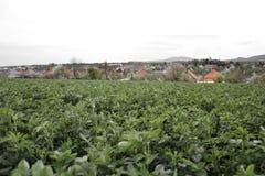 Schließen Sie oben vom Luzerne Medicago-Sativafeld in Slowakei Luzerne und Wiese mit Dorf im Hintergrund Wichtiges landwirtschaft Stockfotografie