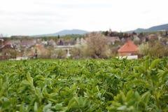 Schließen Sie oben vom Luzerne Medicago-Sativafeld in Slowakei Luzerne und Wiese mit Dorf im Hintergrund Wichtiges landwirtschaft Lizenzfreie Stockfotos