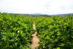 Schließen Sie oben vom Luzerne Medicago-Sativafeld in Slowakei Luzerne und Wiese mit Dorf im Hintergrund Wichtiges landwirtschaft Lizenzfreies Stockfoto