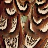 Schließen Sie oben vom männlichen amerikanischen allgemeinen Fasan, Phasianus colchicus lizenzfreie stockfotografie