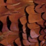 Schließen Sie oben vom männlichen europäischen allgemeinen Fasan, Phasianus colchicus stockfotos