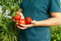 Schließen Sie oben vom Mann, der frische Tomaten vom Gewächshaus erntet Lizenzfreie Stockbilder