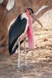 Schließen Sie oben vom Marabu-Storch stockfotografie