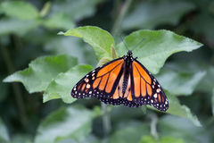 Schließen Sie oben vom Monarchfalter Stockbild