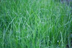 Schließen Sie oben vom Morgentau auf ungeschnittenem Gras Stockfoto