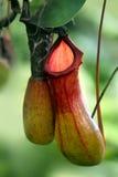 Schließen Sie oben vom Nepenthes Lizenzfreie Stockfotografie