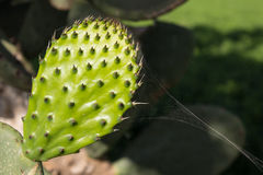 Schließen Sie oben vom neuen Kaktusfeigeblatt lizenzfreie stockfotografie