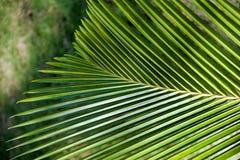Schließen Sie oben vom neuen Palmblatt in der Natur lizenzfreies stockbild