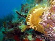 Schließen Sie oben vom Nudibranc-Schnecke Hypselodoris-picta Stockbilder