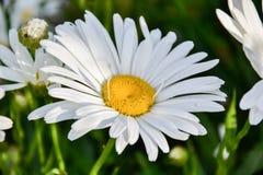 Schließen Sie oben vom Ochsen-Augen-Gänseblümchen u. von x28; Leucanthemum vulgare& x29; im Garten im Frühjahr stockbilder