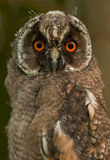 Schließen Sie oben vom Owlet Lizenzfreies Stockfoto