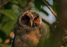 Schließen Sie oben vom Owlet Stockfoto