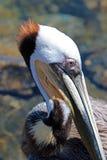 Schließen Sie oben vom Pelikan in Jachthafen Cabo San Lucas in Baja Mexiko stockbild