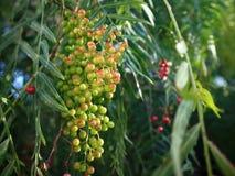 Schließen Sie oben vom Pfefferbaum mit den grünen und rosa Früchten stockfotografie