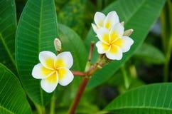 Schließen Sie oben vom Plumeria oder von der Frangipaniblüte auf dem Plumeriabaum Lizenzfreie Stockfotos