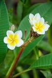 Schließen Sie oben vom Plumeria oder von der Frangipaniblüte auf dem Plumeriabaum Stockbilder