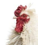 Schließen Sie oben vom Profil eines gelockten mit Federn versehenen Hahns, lokalisiert Stockfotografie