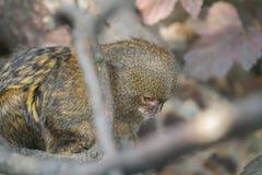 Schließen Sie oben vom Pygmäenseidenäffchen oder von Cebuella pygmaea der kleinste Affe der Welt Stockfoto