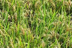 Schließen Sie oben vom Reis-Stiel mit Körnern stockfotografie