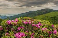 Schließen Sie oben vom Rhododendron auf Jane Bald Stockfotografie