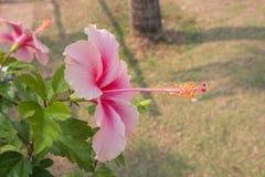 Schließen Sie oben vom rosa Chinesen stieg in den Garten stockfotos