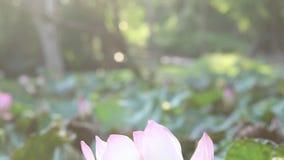 Schließen Sie oben vom rosa Lotos mit Sonnenlicht und natürlichem Hintergrund stock video