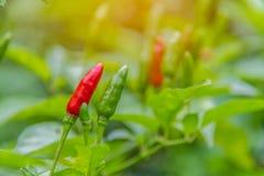 Schließen Sie oben vom Rot und von den grünen Paprikas auf Baum in Thailand-Garten Stockfoto