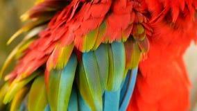 Schließen Sie oben vom roten Amazonas-Scharlachrot Keilschwanzsittich-Papagei oder Aronstäbe Macao, im bunten Porträt der tropisc stock video footage