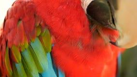 Schließen Sie oben vom roten Amazonas-Scharlachrot Keilschwanzsittich-Papagei oder Aronstäbe Macao, im bunten Porträt der tropisc stock footage