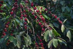 Schließen Sie oben vom roten reifen Kaffee auf Anlage, Kwanza Sul lizenzfreie stockbilder