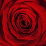 Schließen Sie oben vom roten rosafarbenen Blumenblatt Lizenzfreies Stockfoto