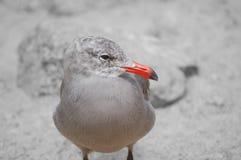 Schließen Sie oben vom roten schnabelförmigen Vogel Stockfotos