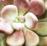 Schließen Sie oben vom saftigen Kaktus Lizenzfreies Stockbild