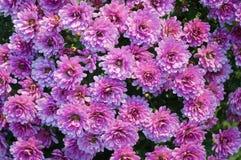 Schließen Sie oben vom schönen rosa Blumenchrysanthemenhintergrund stockfotografie