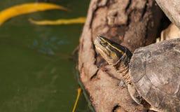 Schließen Sie oben vom Schildkrötenkopf mit gelber Linie im Kopf stockbilder