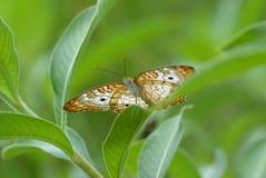 Schließen Sie oben vom Schmetterling Lizenzfreies Stockfoto
