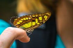 Schließen Sie oben vom Schmetterling auf einem Finger Lizenzfreie Stockfotos