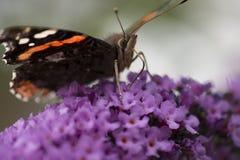 Schließen Sie oben vom Schmetterling des roten Admirals, der auf eine Buddleiaanlage einzieht Stockbild