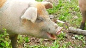 schließen Sie oben vom Schwein, das Gras im Bauernhof weiden lässt stock video