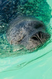 Schließen Sie oben vom Seelöwe im Ozean lizenzfreie stockfotografie