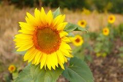 Schließen Sie oben vom Sonnenblumenkopf Lizenzfreie Stockfotografie