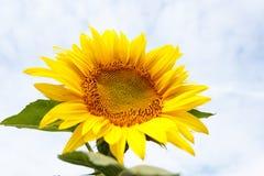 Schließen Sie oben vom Sonnenblumenkopf Stockbild