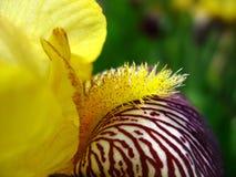 Schließen Sie oben vom Staubgefässe der gelben Iris Stockfoto