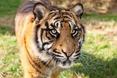 Schließen Sie oben vom Sumatran Tiger im Nachmittags-Sonnenschein stockfotos