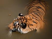 Schließen Sie oben vom Tiger Lizenzfreie Stockfotos