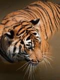 Schließen Sie oben vom Tiger Lizenzfreie Stockfotografie