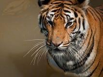Schließen Sie oben vom Tiger Stockbilder
