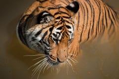 Schließen Sie oben vom Tiger Lizenzfreie Stockbilder