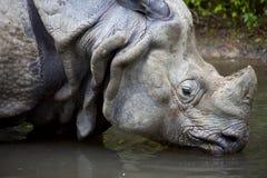 Schließen Sie oben vom trinkenden Nashorn, Nashorn unicornis Lizenzfreie Stockfotos