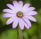 Schließen Sie oben vom violetten rosafarbenen Gänseblümchen Lizenzfreie Stockbilder